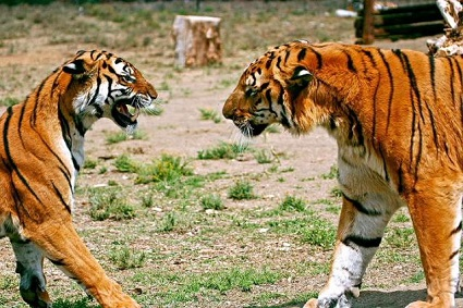 By China's Tiger at English Wikipedia, CC BY-SA 2.5, https://commons.wikimedia.org/w/index.php?curid=10477404
