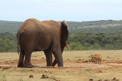 elephant confronting a warthog - By Martinvl - Own work, CC BY-SA 4.0, https://commons.wikimedia.org/w/index.php?curid=58874805