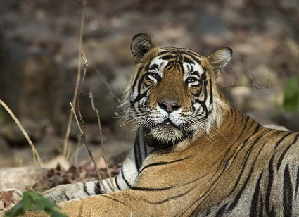 By Koshy Koshy (Flickr: Male Tiger Ranthambhore) [CC BY 2.0 (http://creativecommons.org/licenses/by/2.0)], via Wikimedia Commons