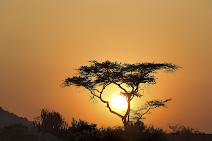 Acacia tree in Africa at sunrise
