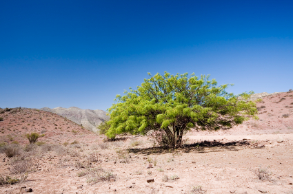 flourishing tree in the Altacama Desert of Chile