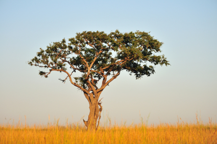 lone tree in a golden-brown field in Africa
