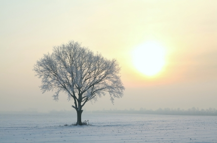 lone tree in an icy field on a winter morning