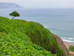 Lone tree on a cliff overlooking the Pacific Ocean, at Miraflores, Lima, Peru